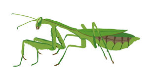 Praying Mantis clipart #4, Download drawings