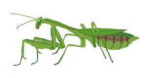 Praying Mantis clipart #17, Download drawings