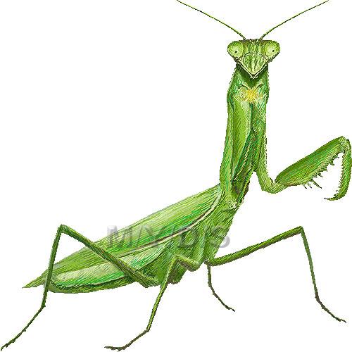 Praying Mantis clipart #5, Download drawings
