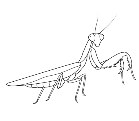 Praying Mantis coloring #2, Download drawings