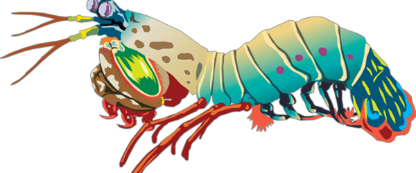 Mantis Shrimp clipart #2, Download drawings