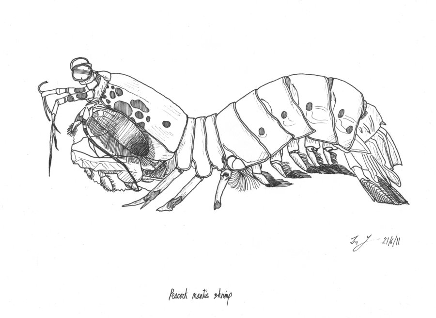 Mantis Shrimp clipart #5, Download drawings