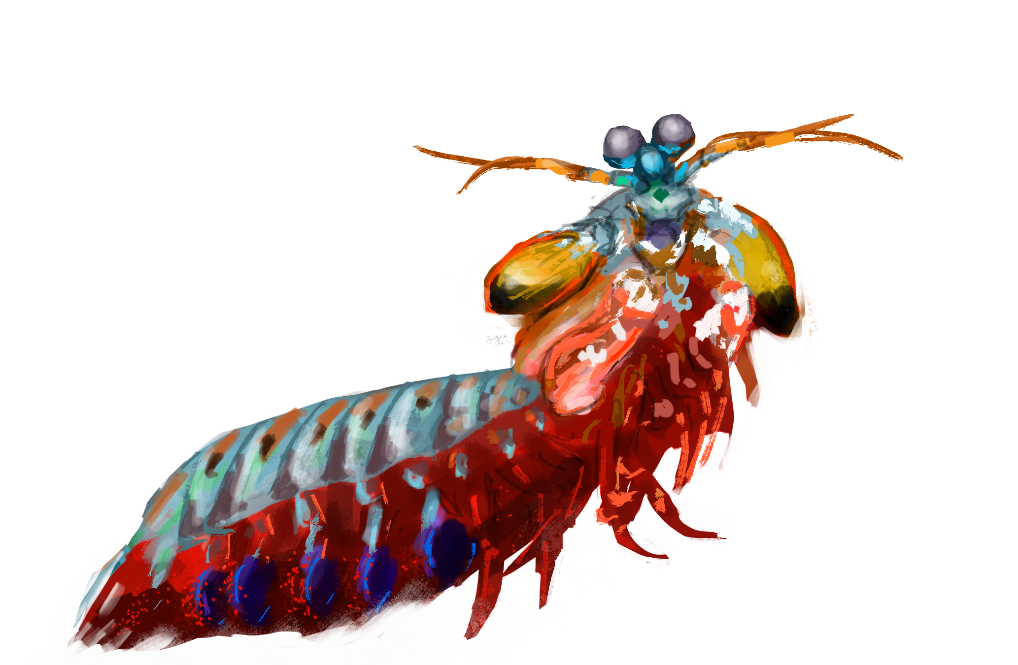 Mantis Shrimp clipart #4, Download drawings