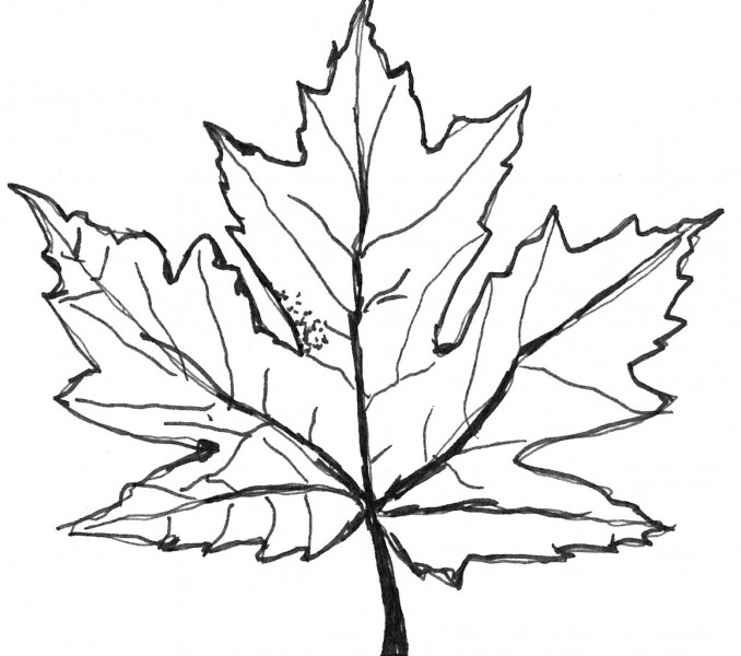maple coloring pages - photo#14