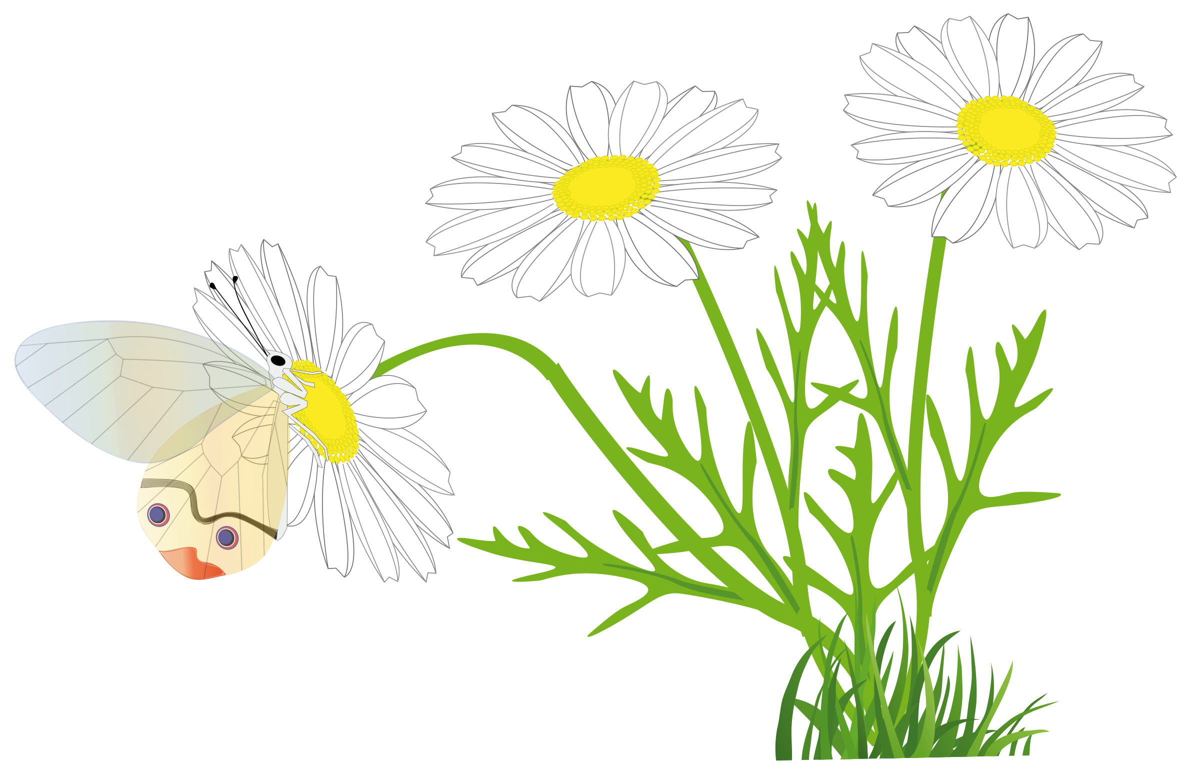 Marguerite Daisy clipart #14, Download drawings