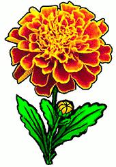 Marigold clipart #19, Download drawings