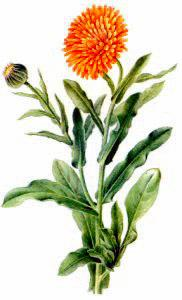 Marigold clipart #14, Download drawings
