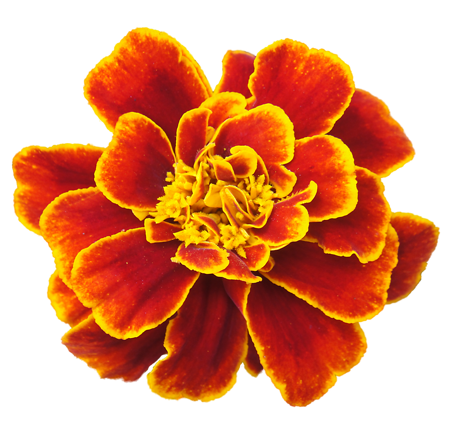 Marigold clipart #2, Download drawings