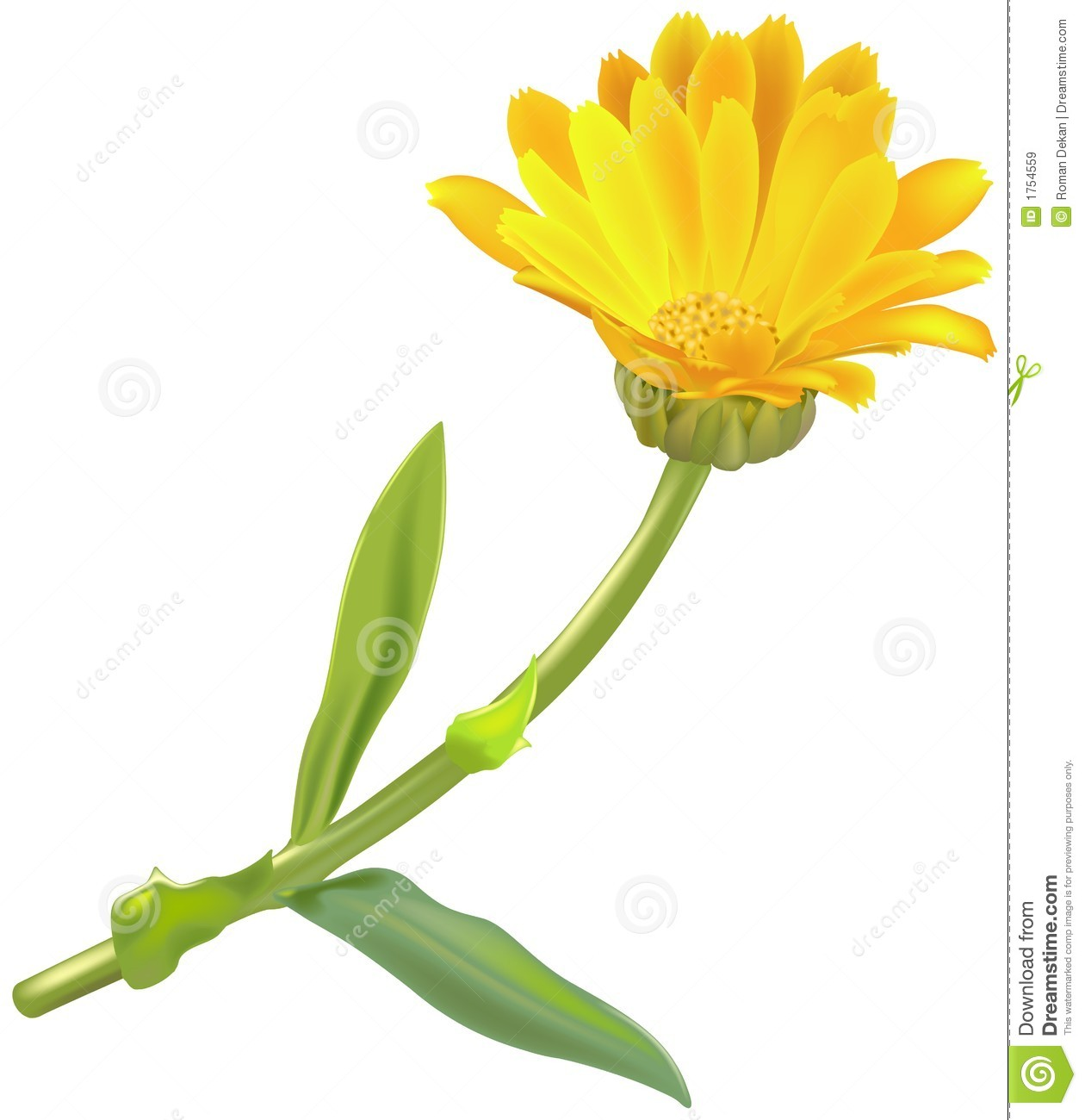 Marigold clipart #6, Download drawings