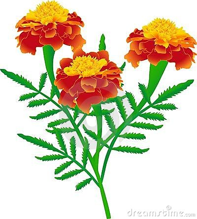 Marigold clipart #20, Download drawings