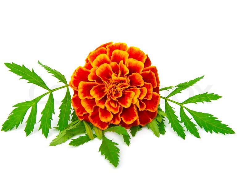Marigold clipart #17, Download drawings