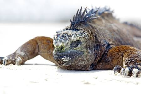 Marine Iguana clipart #16, Download drawings