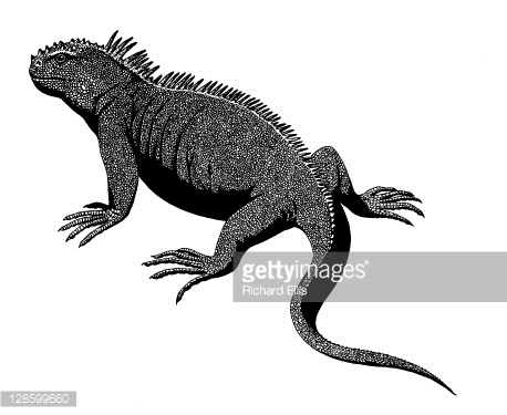 Marine Iguana clipart #18, Download drawings