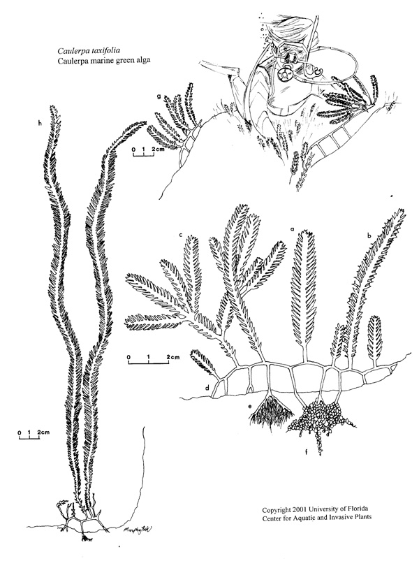 marine plant coloring  download marine plant coloring