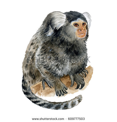 Pygmy Marmoset clipart #18, Download drawings