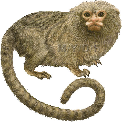 Pygmy Marmoset clipart #16, Download drawings