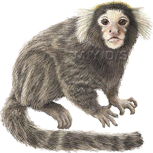 Marmoset clipart #4, Download drawings