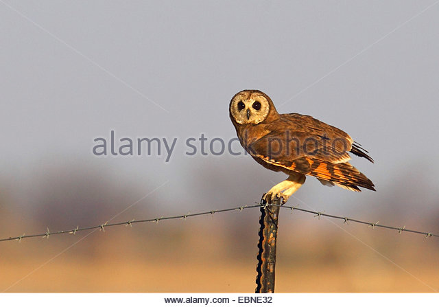 Marsh Owl clipart #14, Download drawings
