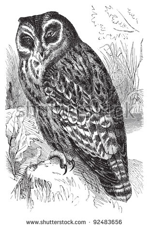Marsh Owl clipart #18, Download drawings