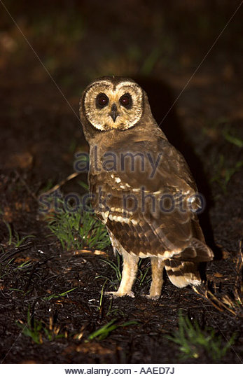 Marsh Owl clipart #15, Download drawings