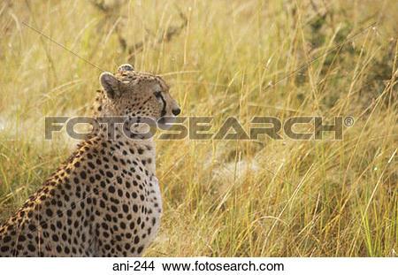 Masai Mara clipart #19, Download drawings