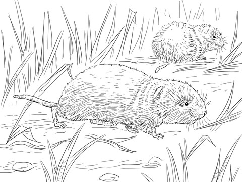 Vole coloring #16, Download drawings