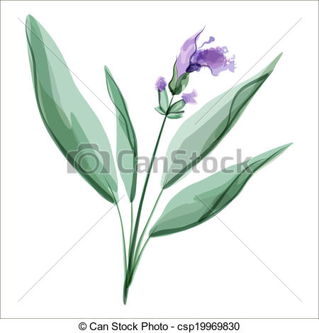 Meadow Sage clipart #8, Download drawings