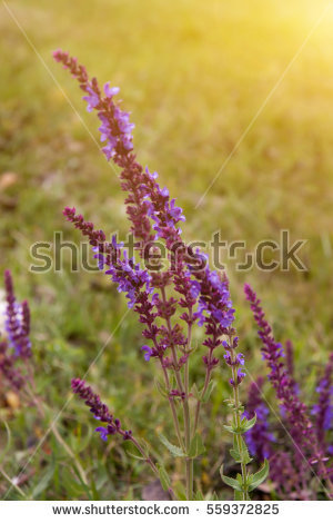 Meadow Sage clipart #1, Download drawings