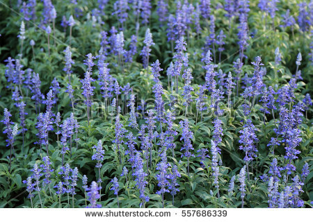 Meadow Sage clipart #3, Download drawings