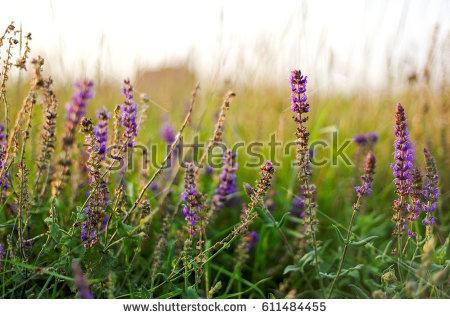 Meadow Sage clipart #4, Download drawings