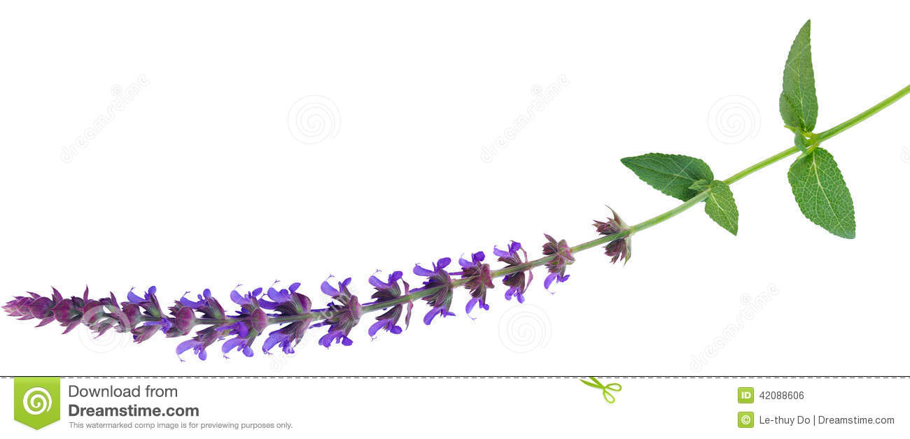 Meadow Sage clipart #6, Download drawings