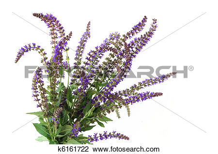 Meadow Sage clipart #20, Download drawings