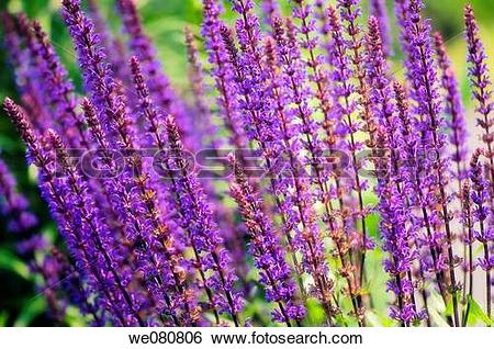 Meadow Sage clipart #5, Download drawings