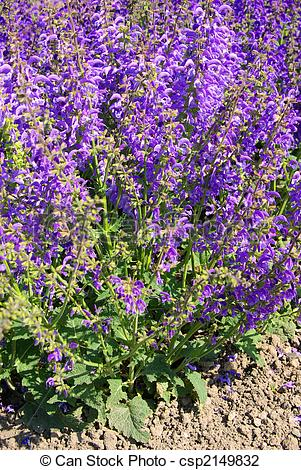 Meadow Sage clipart #15, Download drawings