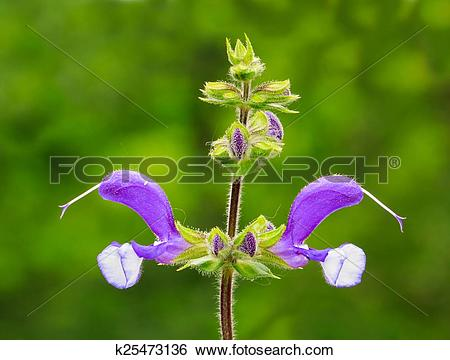 Meadow Sage clipart #13, Download drawings