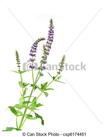 Meadow Sage clipart #16, Download drawings