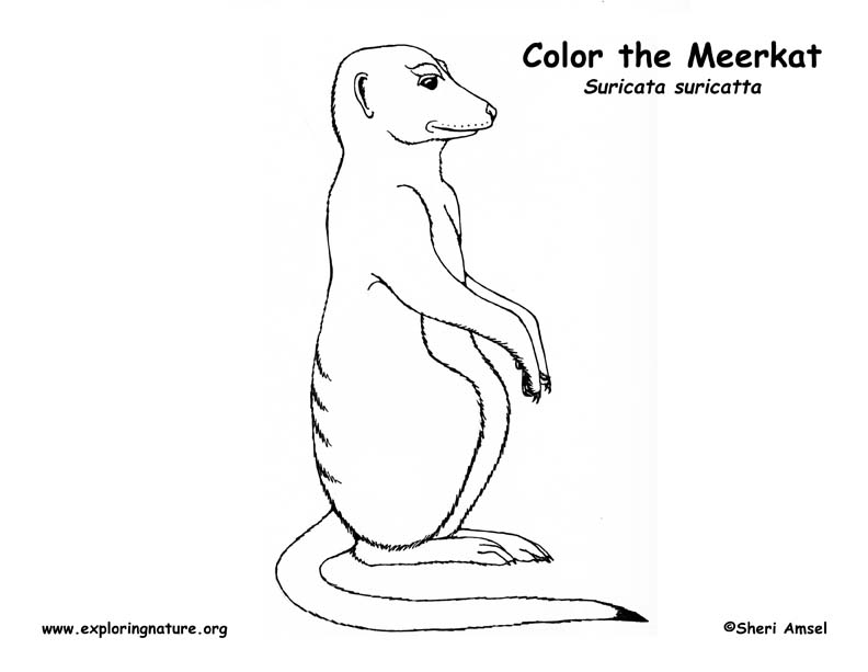 Meerkat coloring #14, Download drawings