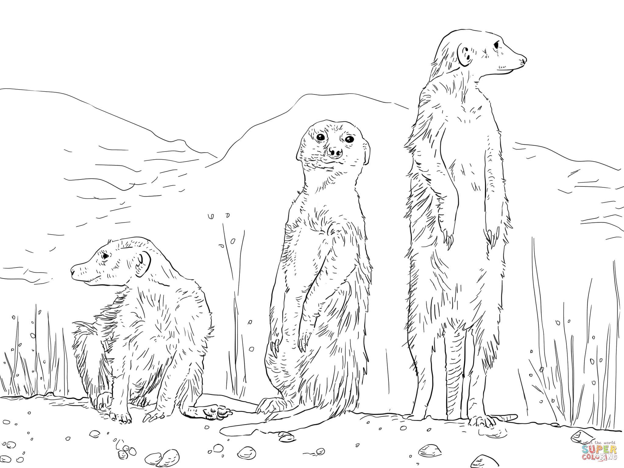 Meerkat coloring #9, Download drawings
