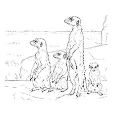 Meerkat coloring #7, Download drawings
