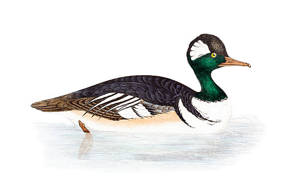 Merganser Duck clipart #14, Download drawings