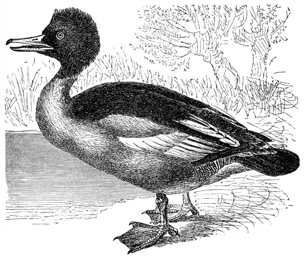 Merganser Duck clipart #15, Download drawings