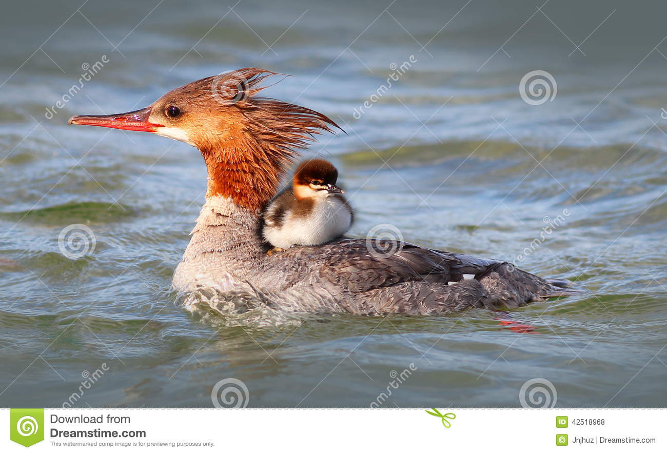 Merganser Duck clipart #5, Download drawings