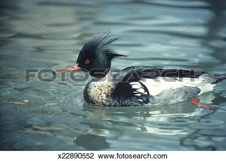 Merganser Duck clipart #17, Download drawings