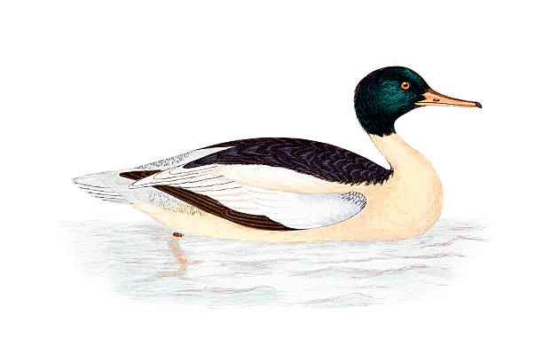 Merganser Duck clipart #13, Download drawings