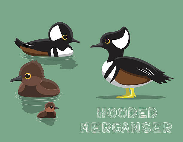 Merganser Duck clipart #18, Download drawings