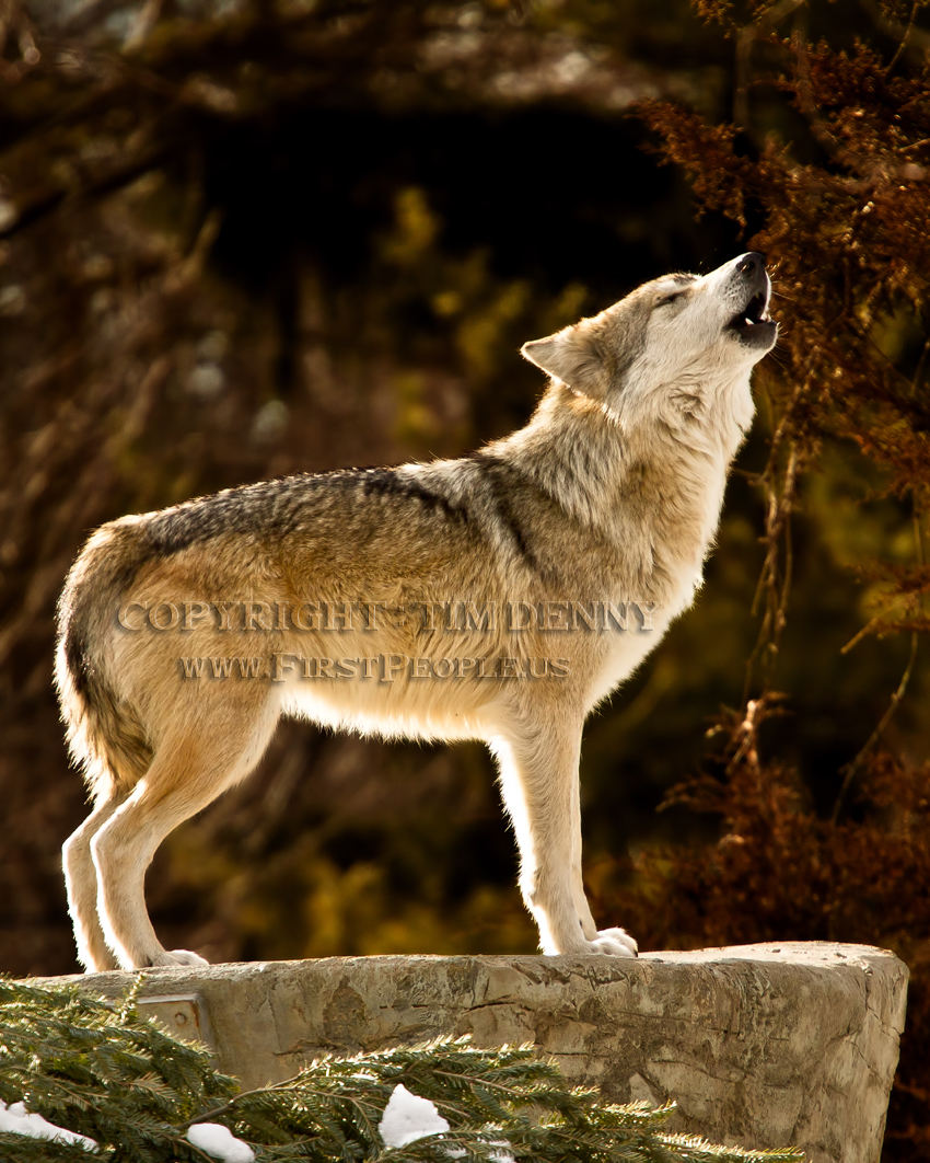 Mexican Gray Wolf clipart #6, Download drawings
