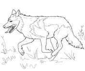 Mexican Gray Wolf clipart #15, Download drawings