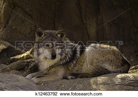 Mexican Gray Wolf clipart #9, Download drawings