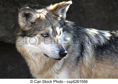 Mexican Gray Wolf clipart #18, Download drawings