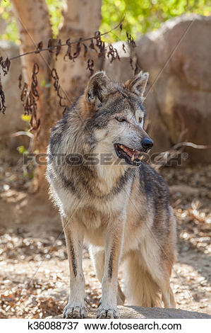 Mexican Gray Wolf clipart #16, Download drawings